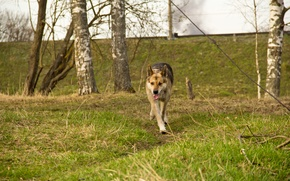 Picture forest, spring, Dog, running