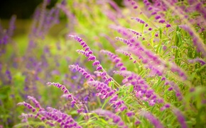 Wallpaper flowers, focus, beauty, Park, sage, widescreen Wallpaper, widescreen Wallpaper, leaves, freshness, greens, mood, silence, flowers ...