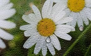 Picture drops, macro, flowers, rain, chamomile