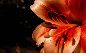 Picture flower, flowers, Lily, flower
