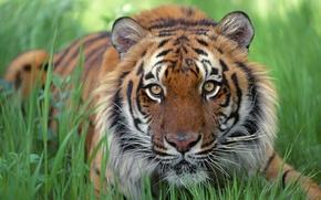 Wallpaper grass, strips, tiger