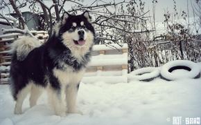 Picture dogs, Malamute, Yakut