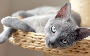 Picture cat, cat, look, kitty, grey, portrait, lies, smoky, gray-eyed