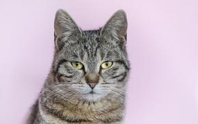 Picture cat, grey, background, portrait, striped