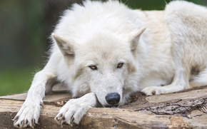 Picture white, look, face, wolf, polar, ©Tambako The Jaguar