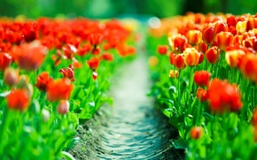Wallpaper red, plantation, red, plantation, tulips, tulips, trail, spring