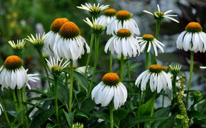 Picture leaves, nature, petals, garden, stem, flowerbed, Echinacea