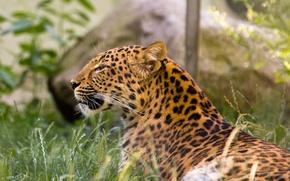 Picture cat, grass, leopard, Amur