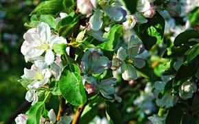Picture spring, Apple, flowering, trees, Flowering