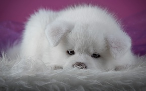 Wallpaper white, look, close-up, background, pink, dog, puppy, lies, fur, spout, face, photoshoot, Akita inu, Akita