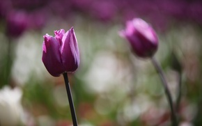 Picture flowers, tulips, bokeh