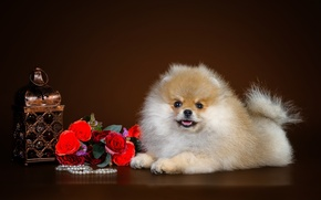 Picture cute, puppy, Spitz
