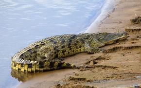 Picture Water, Shore, Crocodile
