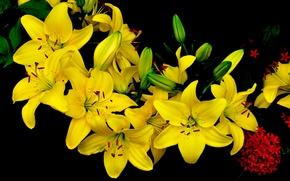 Picture nature, Lily, bouquet, petals