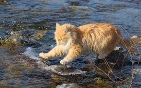 Wallpaper cat, water, stones, red, fearless, researcher