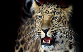 Picture mustache, look, background, Wallpaper, fluffy, beautiful, leopard, grin, dark, panthera pardus orientalis