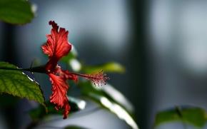 Picture flower, leaves, nature, plant, pistil, hibiscus
