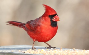 Picture bird, color, feathers, beak, cardinal