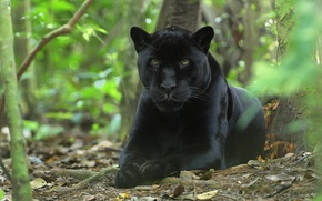 Picture cat, cat, predator, pussy, black, Panther, face, Wallpaper, beast, forest, panthera, wallpaper, jungle