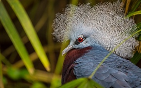 Wallpaper macro, crowned pigeon, New Guinea