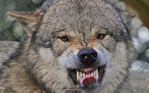 Picture language, face, wolf, teeth, fangs, grin