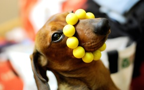 Picture macro, dog, Dachshund, yellow beads, on the nose