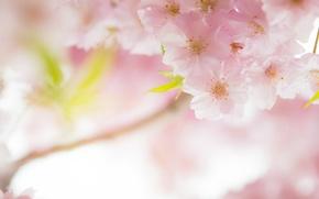 Picture macro, cherry, pink, tenderness, spring, Sakura