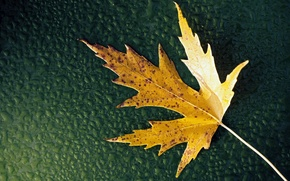 Picture BACKGROUND, WATER, DROPS, GREEN, YELLOW, LEAF, SHEET, AUTUMN