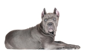 Picture look, dog, puppy, white background, cane Corso