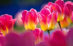 Wallpaper macro, nature, petals, stem, tulips