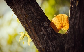 Picture leaves, macro, trees, yellow, background, tree, widescreen, Wallpaper, blur, leaf, trunk, wallpaper, form, bark, leaf, …