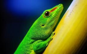 Wallpaper macro, green, lizard, California Academy of Sciences