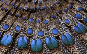 Picture pattern, tail, peacock
