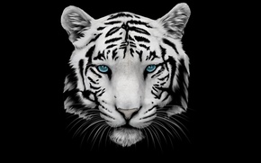 Picture white, mustache, face, tiger, head, tiger