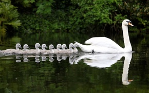 Picture water, reflection, Swan, Chicks