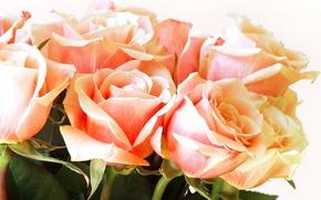 Picture flowers, roses, bouquet, petals, buds