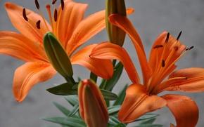 Picture macro, Lily, plant, petals