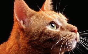 Wallpaper look, face, red, cat