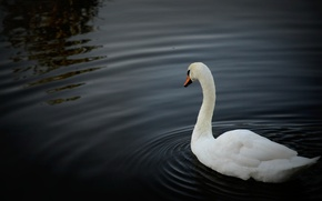 Picture white, water, lake, pond, beautiful, Swan