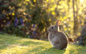 Picture grass, light, lawn, rabbit, baby, meadow, ears