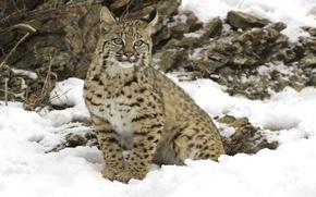 Picture winter, snow, big cat, Lynx