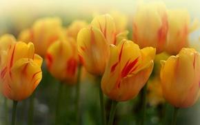 Picture macro, tulips, buds, bokeh, yellow tulips