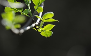 Picture greens, macro, plant, branch. leaves