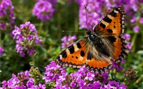Picture summer, flowers, butterfly, wings, insect
