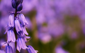 Picture flower, summer, lilac, focus, bells, field