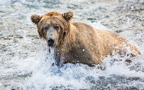 Picture face, squirt, fishing, bear, grizzly