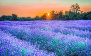 Picture the sky, rays, trees, sunset, flowers, lavender, plantation