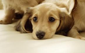 Wallpaper beige, look, dog, lies, puppy, dog