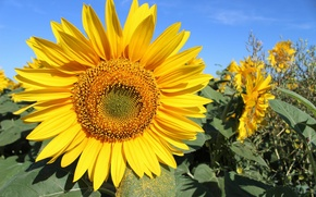 Picture field, the sky, sunflower