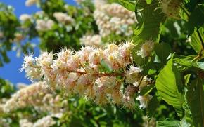 Picture macro, tree, spring, flowering, chestnut
